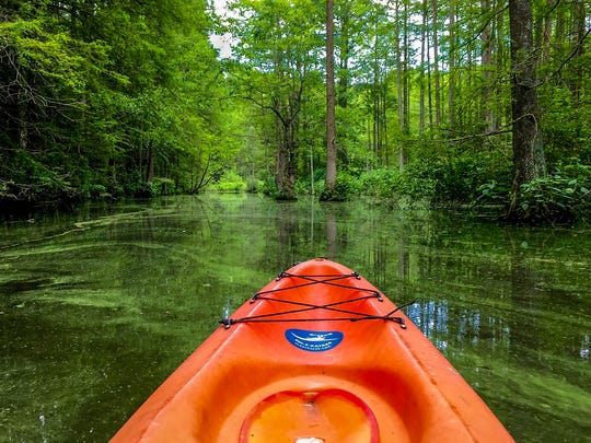 Kayaking through the baldcypress trees in Trap Pond State Park in February.