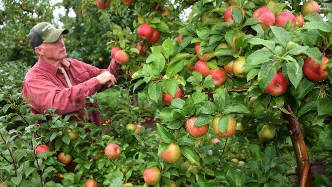 Jim Bardenhagen, a sixth-generation fruit farmer of Suttons Bay, says he has never seen such a large crop of apples.