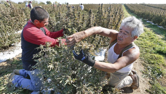 Javier Valdez, left, and Delfino Jardines harvest some of the 27 acres of hemp on Andy Graves? farm near Winchester, Ky. ADVANCE FOR WEEKEND EDITIONS OCT. 31-NOV. 1 - In this Thursday, Oct. 22, 2015 photo, Javier Valdez, left, and Delfino Jardines, right, harvest some of the 27 acres of hemp onan Andy Graves farm near Winchester, Ky.  GenCanna, which moved to Kentucky from Canada to focus on hemp, harvested the 27 acres of hemp grown this year in Winchester and processed it to produce a kind of powder they plan to sell to companies that want to put hemp in nutritional supplements. (Charles Bertram/Lexington Herald-Leader via AP) MANDATORY CREDIT
