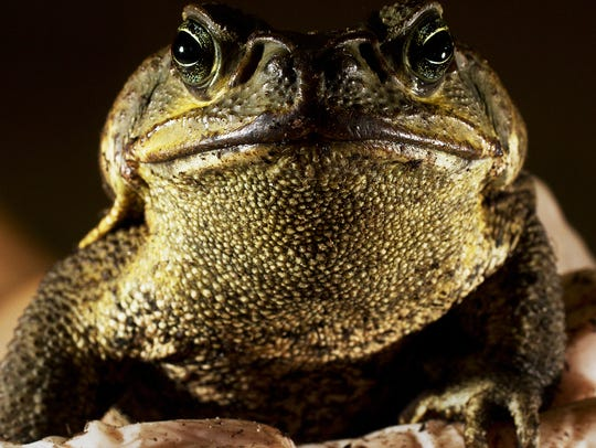 This is a cane toad that was caught in the wild on