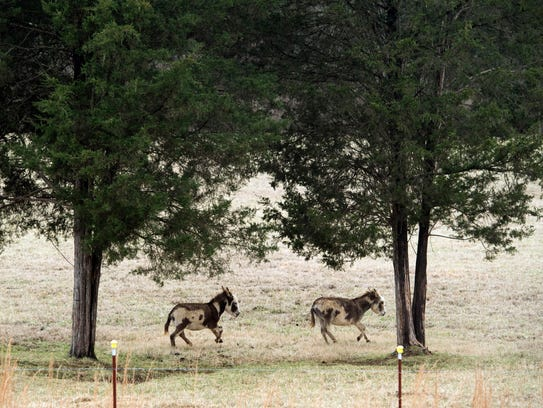 Miniature horses play in a field off Gov. John Sevier