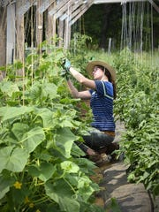 Addie Carlson ties up cucumber vines at Dancing Bears