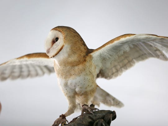 Barn owls are an endangered species in Indiana.