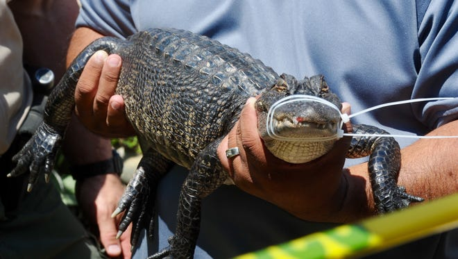 A baby alligator is taken from Todd Kates' Thousand Oaks home in 2017. Investigators found dozens of animals at the residence, including cobras, alligators and birds.