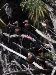 Black Bellied Whistling Ducks perch on a island at