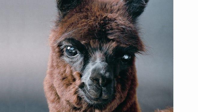 LondonDairy Alpacas will host the Alpaca Odyssey on June 4, 2017.