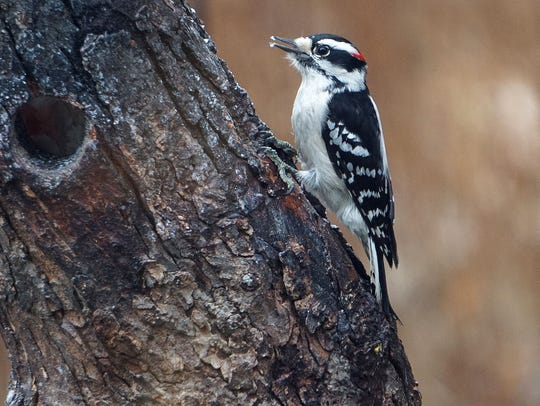 A downy woodpecker forages in a tree at Lowe-Volk Nature