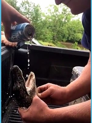 A beer is poured down the throat of a young alligator in South Carolina. Two men have been charged with harassment of wildlife in the incident.