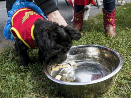 Cookie, a six month old Yochon sporting a canine Wonder Woman costume, bobs for biscuits at the 2nd annual Howl-o-ween adopt-a-thon at the Humane Society of Lebanon County on Saturday. The event featured readings with pet psychic Cynthia Harner, a pet costume contest, bake sale, bobbing for biscuits and much more.