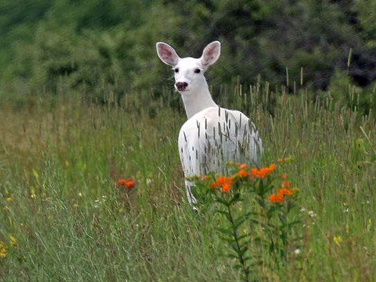 In this June 28, 2017 photo, a white deer stands in