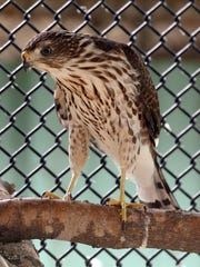 A Coopers Hawk is one of several animals that was brought into the Wildlife Education and Rehabilitation of Louisiana.