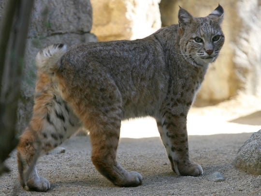 A bobcat at The Living Desert walks around its enclosure in this March 2013 photo. The recent legal trapping of bobcats near Joshua Tree National Park has ignited the issue of whether they should be able to be trapped for their furs. The state on Wednesday will consider a partial ban on bobcat trapping near state and national parks.