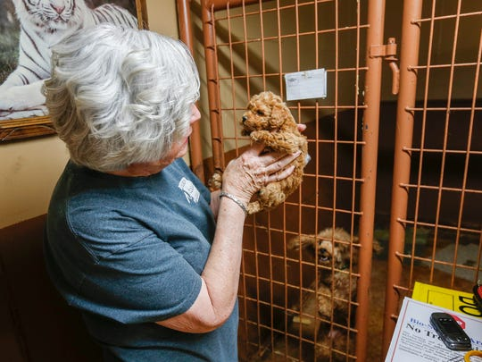 Ann Quinn holds a poodle puppy inside of her breeding room in Niangua on Thursday, May 31, 2018.