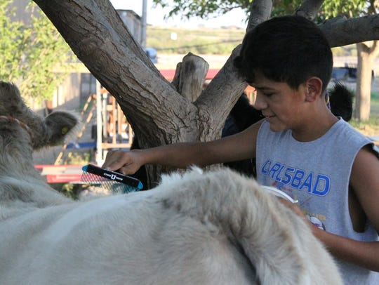 Tye Martinez, 13, of Loving, New Mexico combs the fur