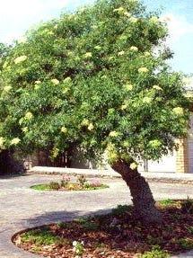 A Mexican elder tree.