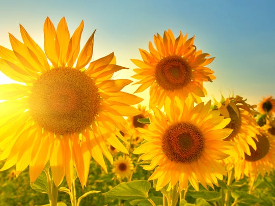 Dalton Farms is celebrating its first Sunflower Festival.