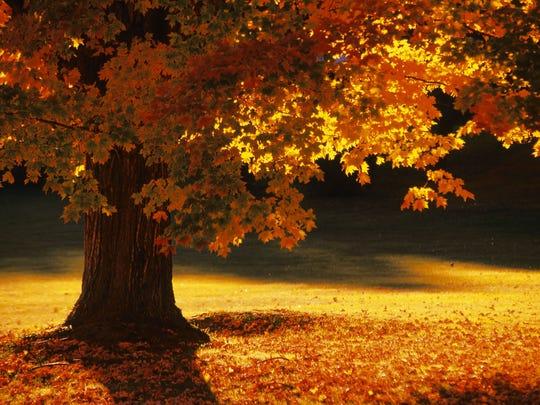 Maple tree , Bennington , Vermont