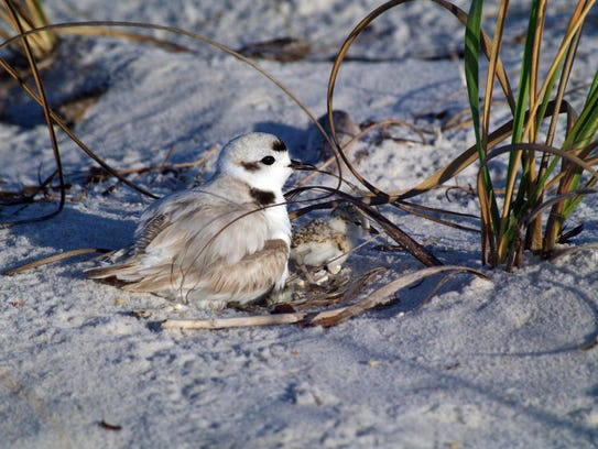 Snowy plover with chicks.