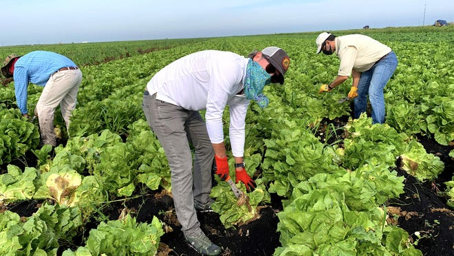 Pepe Fanjul Jr. is gloved, masked and covered while gleaning lettuce at Roth Farms in Belle Glade.