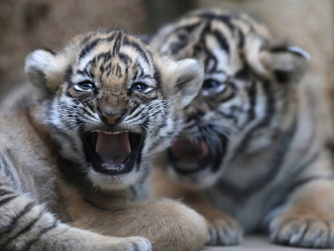 Two cubs of critically endangered Malayan tigers lie