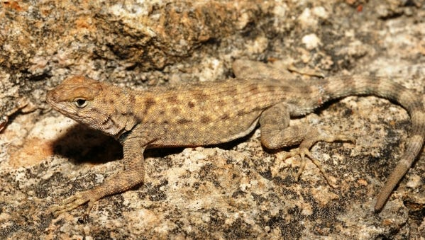 The Big Bend Canyon Lizard is well suited to life in the extreme region of Texas.