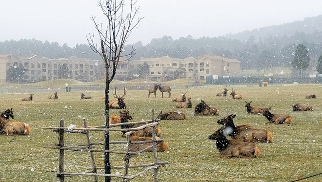 A herd of elk bedded down at the White Mountain sports fields during a light snowstorm in Ruidoso early Thursday. In the background is the MCM Elegante Lodge.