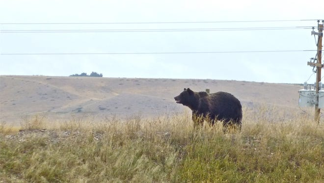 This grizzly bear was spotted Wednesday near Fort Shaw, 23 miles west of Great Falls in 2013.