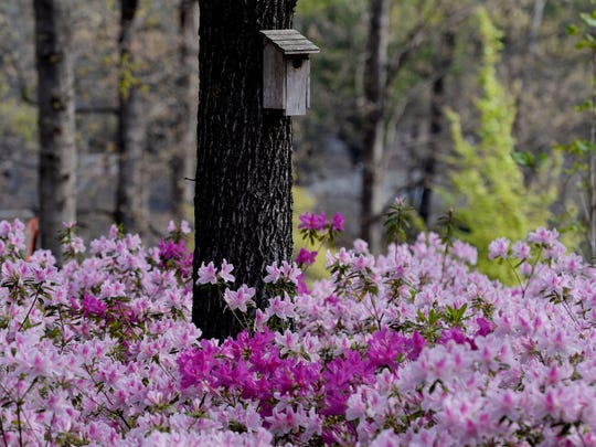 It's that time of year where the Azaleas at the R.