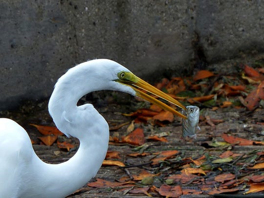 """Steve Rimar of Estero writes: """"The picture is of a Great Egret or also known as a great White Heron eating a pinfish. The picture was taken at Lovers Key Carl E. Johnson State Recreation Area. My camera is a Panasonic Fz200."""" Steve Rimar of Estero writes: """"The picture is of a Great Egret or also known as a great White Heron eating a pinfish. The picture was taken at Lovers Key Carl E. Johnson State Recreation Area. My camera is a Panasonic Fz200."""""""