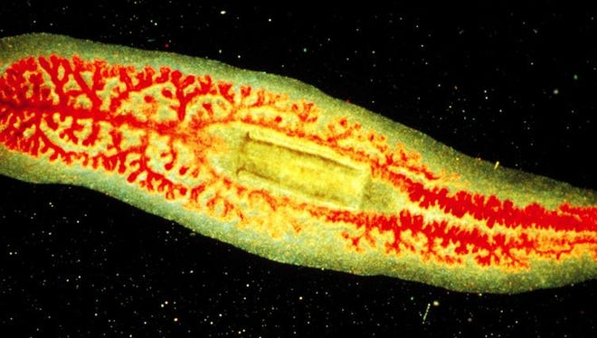 Scientists are learning big lessons from the  little planaria worm.