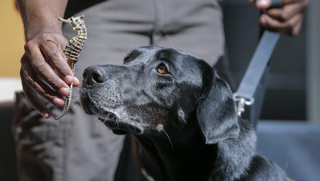 Viper, a wildlife detection K-9 dog with the US Fish & Wildlife Service, demonstrates finding a bag of previously seized dried seahorses, as officials launch a public awareness campaign against the illegal wildlife trade at Hartsfield Jackson Atlanta International Airport in Atlanta on Sept. 7, 2016. The U.S. Fish & Wildlife Service and the WildAid conservation group said it hopes to reduce the incidence of illegal wildlife trafficking on a global scale.