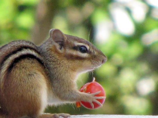 Chipmunks are still around the mountains, but they have been curiously out of sight in recent weeks.