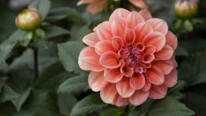 Check dahlia, canna and gladiola bulbs for rotting and/or drying out.