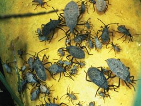 Squash bugs are ruinous insects in the garden that impact a variety of vegetables.