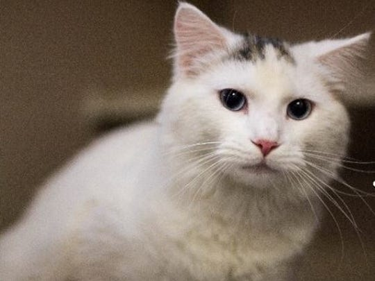 Rajah is an adult male domestic short hair with mesmerizing eyes. He is very friendly and affectionate and loves people. Find him at Montgomery County Animal Care and Control, 616 N. Spring St., 931-648-5750, www.facebook.com/MontgomeryCountyAdoptionServices.