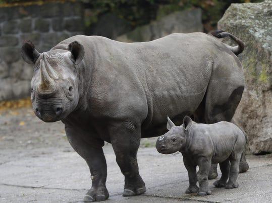 Czech Republic Baby Rhino