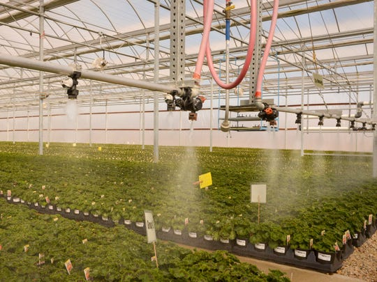 Close-up of the greenhouse irrigation system watering a row of geraniums inside the Loppnow Greenhouse in Reedsville on Tuesday. Sue Pischke/HTR Media.ÊPhoto taken on Tuesday, March 31, 2015.