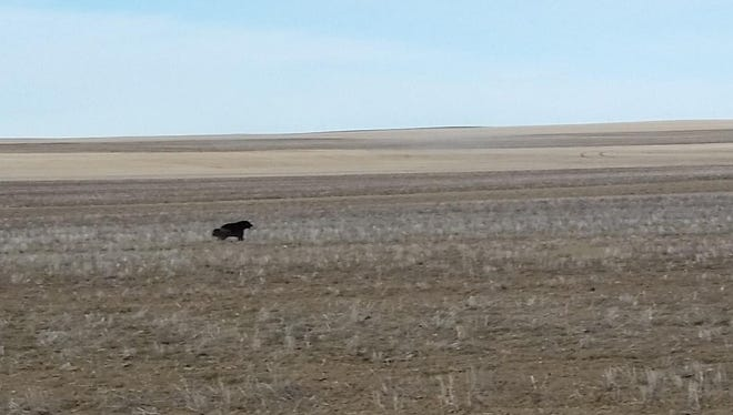 """Hi-Line farmer Dave Chinadle provided what a state wildlife official called a """"very convincing"""" photo of a wolverine in a stubble field near Havre."""