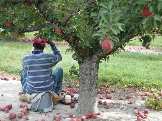 A worker at T.S. Smith & Sons enjoys his lunch break after a long morning of picking apples.