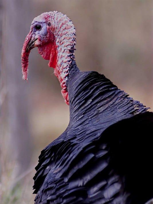 WILD TURKEY... 11/24/1999