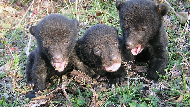 The Mississippi River floodplain is a diverse habitat that is important to many species such as the Louisiana black bear.