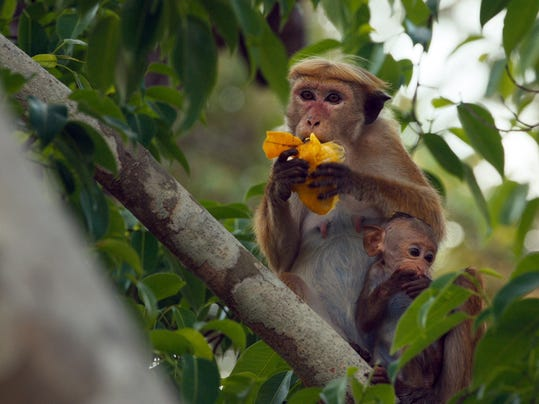 "Movie review: ""Monkey Kingdom"" reveals a revolution in cuteness"
