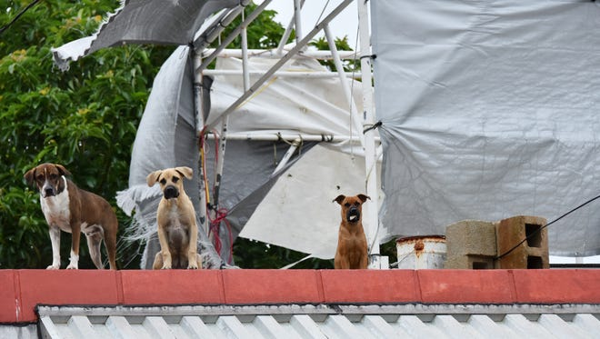 Dogs patrol a Dededo rooftop as tarp flutter in the wind during Tropical Storm Maria on July 5, 2018.