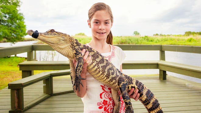 Florida is home to more than a million alligators. Vacationers frequently take day to visit the  Everglades to see gators.