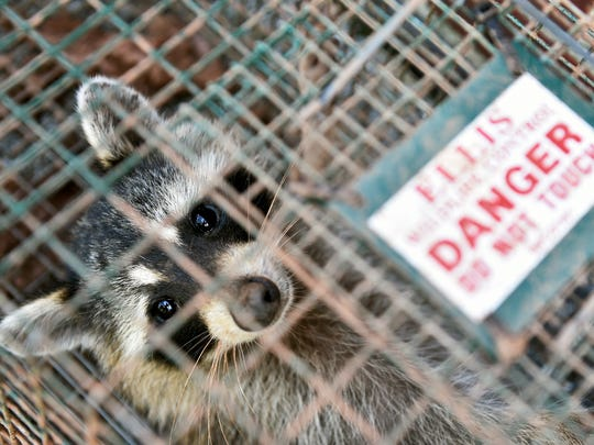 A female raccoon rests in a cage after being trapped by Ellis Animal Control in Manchester Township. Mike Ellis, owner, says rabies is more common in York County than many people think.