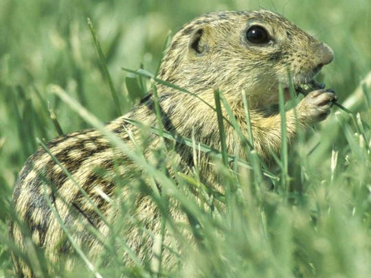 In Des Moines, the 13-lined ground squirrel is commonly