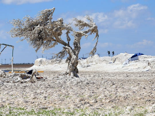 A tree is covered in cotton after Hurricane Harvey damaged several cotton bales Tuesday, Aug. 29, 2017, on Farm-to-Market Road 629 near Bayside, Texas. Harvey struck the Texas Coastal Bend as a Category 4 Friday, August 25, 2017.