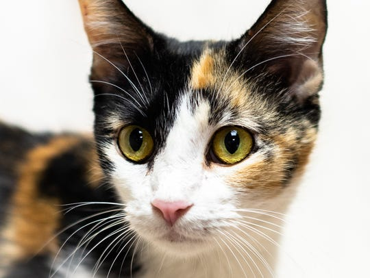 Aquaria - Female (spayed) domestic shorthair, about 1.5 years. Intake date: 6-28-2018