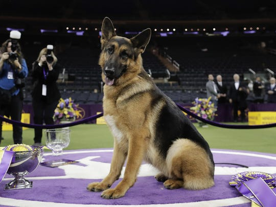 Rumor, a German shepherd, poses for photos after winning Best in Show at the 141st Westminster Kennel Club Dog Show, in New York.
