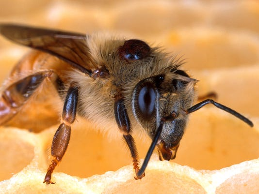 636078097117962428-SHRBrd-05-16-2014-Times-1-A014--2014-05-15-IMG-Disappearing-Bees.jp-4-1-NR7C9UN0-L417701664-IMG-Disappearing-Bees.jp-4-1-NR7C9UN0.jpg